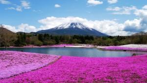 富士山 芝桜