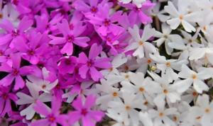 芝桜 ピンク 白