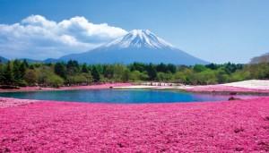 富士本栖湖リゾート 芝桜