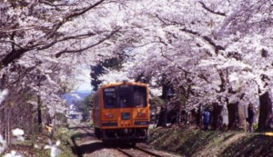走れメロス号 桜