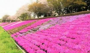 相模川芝桜ライン