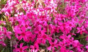 芝桜 スカーレットフレーム