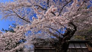 弘前公園 桜 ソメイヨシノ