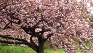 桜 ピンク 満開