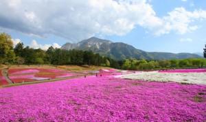羊山公園 武甲山 芝桜