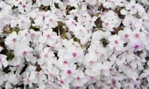 芝桜 アメージンググレース