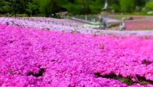 芝桜 スパッシュランドパーク