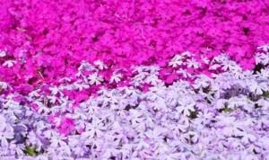 芝桜 花 満開