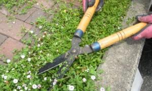 芝桜 刈り込み
