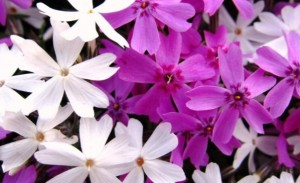 芝桜 ピンクと白の花