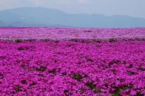 茶臼山 芝桜 満開