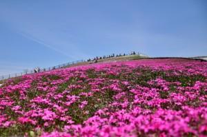 茶臼山 芝桜 ピンク