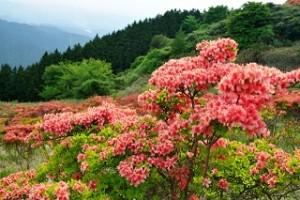葛城山 つつじ ピンク