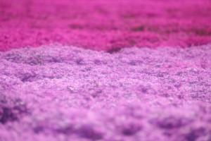 芝桜 満開