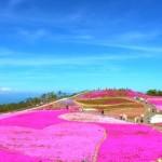 茶臼山の芝桜2019の見頃と開花予想!芝桜まつりやライトアップは?