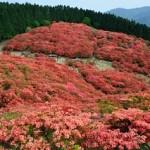 葛城山つつじ2020の見頃と開花!登山コースやロープウェイは?混雑は?
