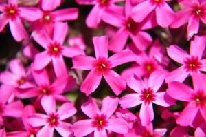 芝桜 花びら ピンク