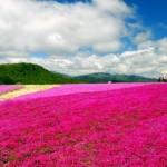 茶臼山の芝桜2017の開花状況と見頃。ライトアップや混雑は?