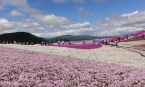 茶臼山の芝桜 満開