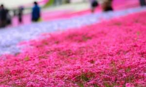 芝桜 ピンク