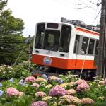 箱根あじさい電車2017。見頃と混雑状況。ライトアップの期間は?