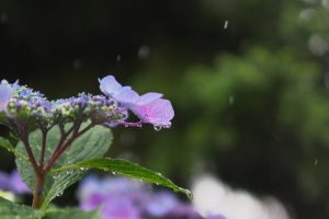 あじさい 雨