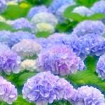 紫陽花の名所。関東、関西ランキング!見頃の時期は?