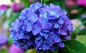 あじさい 花 ブルー