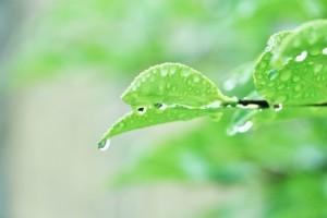 葉っぱ 雨 しずく