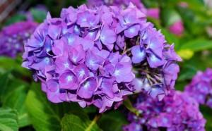 あじさい 紫 花
