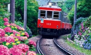 箱根登山鉄道 あじさい