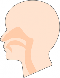 鼻 器官 イラスト