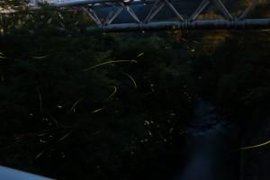 ホタル 光 飛翔 橋