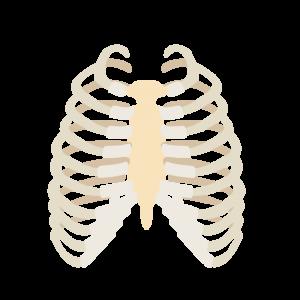 肋骨 イラスト