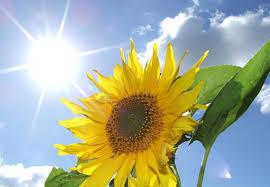ひまわり 太陽