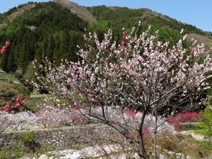 春 桜 山