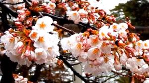 桜 満開 白