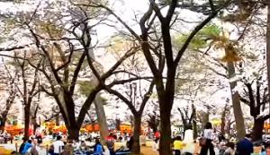 大宮公園 桜 花見
