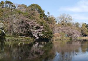 大宮公園 舟遊池 桜 松
