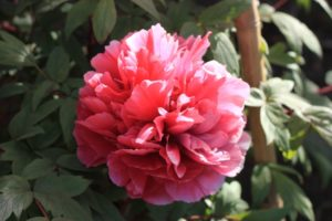 鶴岡八幡宮 ぼたんの花