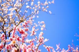 梅の花 ピンク