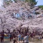大宮公園の桜2019の花見頃と開花予想!ライトアップや屋台は?