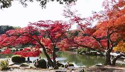 日本庭園 楓 真っ赤