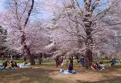 大宮公園 桜