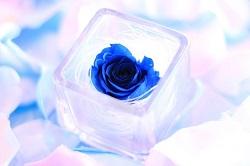 ブルー 薔薇