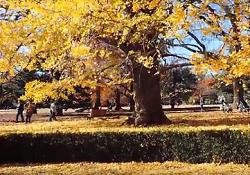 新宿御苑 イギリス風景式庭園 黄葉