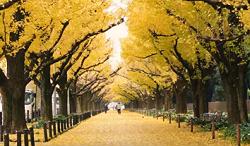 神宮外苑いちょう祭り いちょう並木
