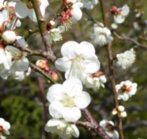 桜の花 白