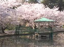 大宮公園 お花見