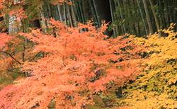 紅葉と黄葉と竹林